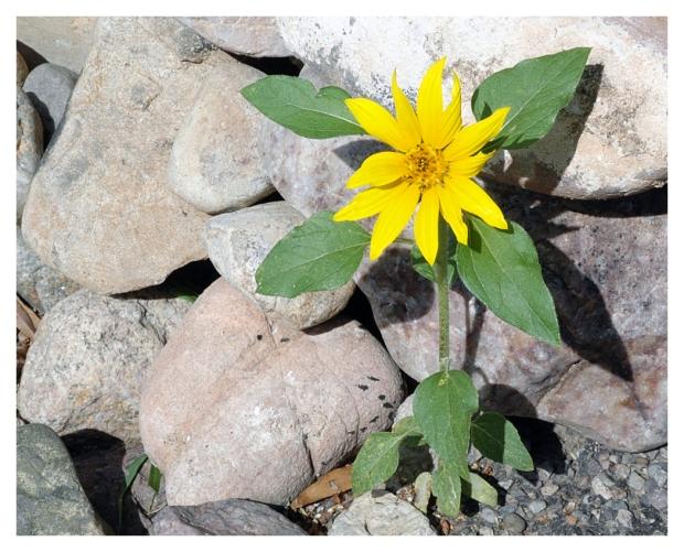 Daisy On The Rocks