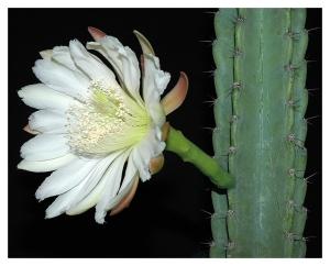 Cereus Bloom+04