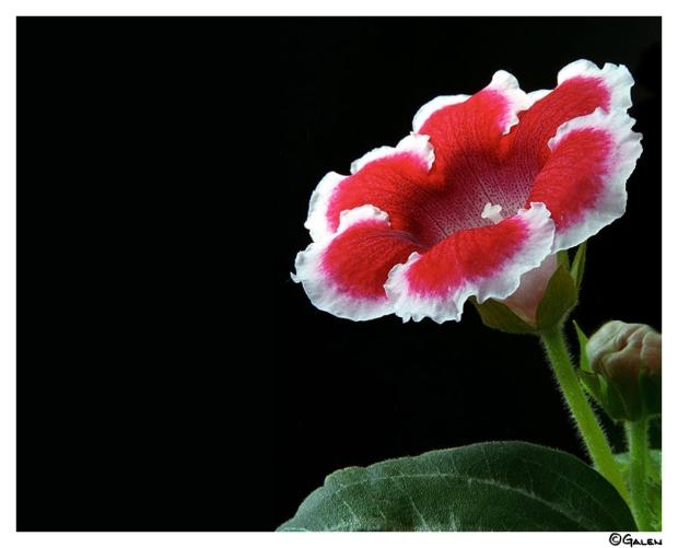 26g_10d14_gloxinia-in-red-04f